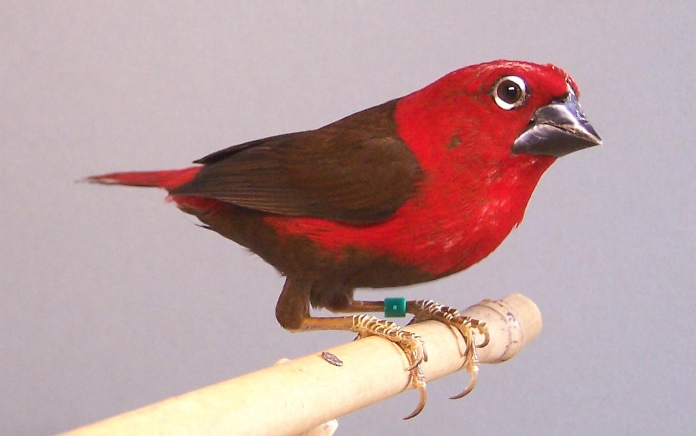 Crimson Seedcracker | Avitoon - Keeping and breeding ... A Common Man Dvd