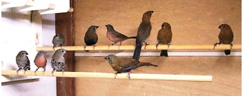 Several young estrildids (among which 2 vinaceus firefinches