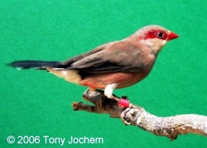 Common Waxbill (male)