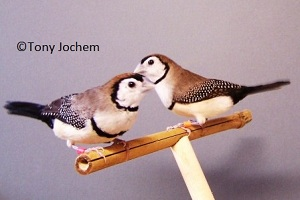 Double-barred Finch (couple)