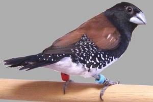 Lonchura bicolor nigriceps