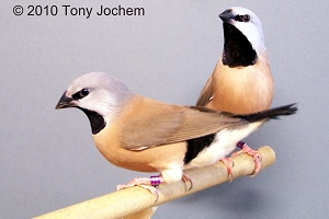 Subspecies Black-rumped/Black-troathed Finch (couple)