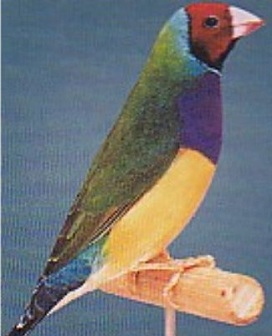 Gouldian Finch (male)