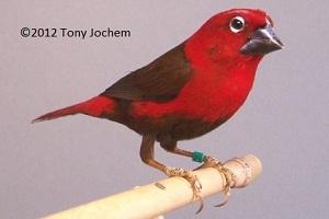 Crimson Seedcracker (female)