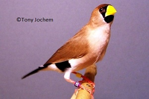Masked Finch (male)