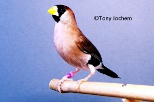 Masked Finch (female)