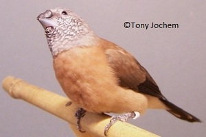 Grey-headed Silverbill (female)