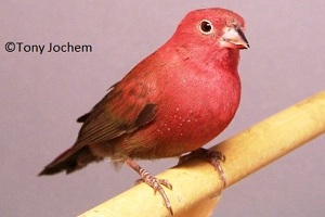 Red-billed Firefinch (male