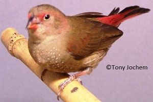 Red-billed Firefinch (female)