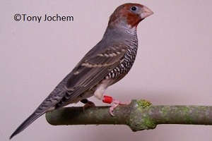 Red-headed Finch (male)