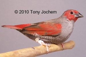Red-winged/Red-masked Pytilia (male)