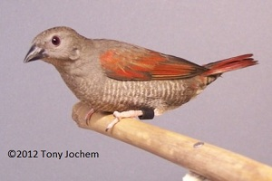 Red-winged/Red-masked Pytilia (female)