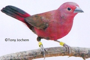 Jameson's Firefinch (male)