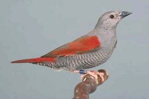 Red-winged Pytilia (male)