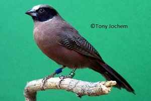 Black-cheeked Waxbill (female)