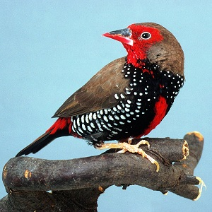 Painted Firetail (male)