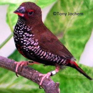 Painted Firetail (female)