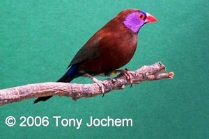 Violet-eared Waxbill (male)
