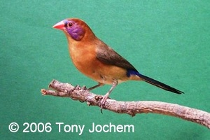 Violet-eared Waxbill (female)