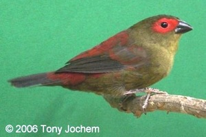 Red-faced Crimson-wing (male)