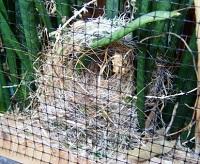 Schlegelastrilde op nest