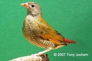 Orange-winged Pytilia (female)