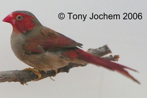 Common Crimson Finch (female)