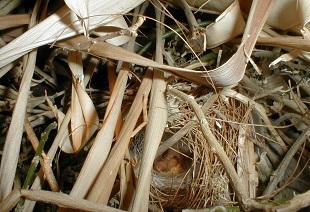 Nest Jameson's Firefinch