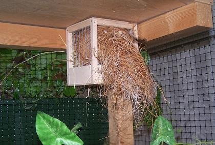 oranjekaakastrilden nest 100_1303