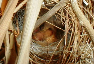 Jameson's Firefinch, young one 1 day old